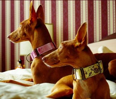 Greyhound collars